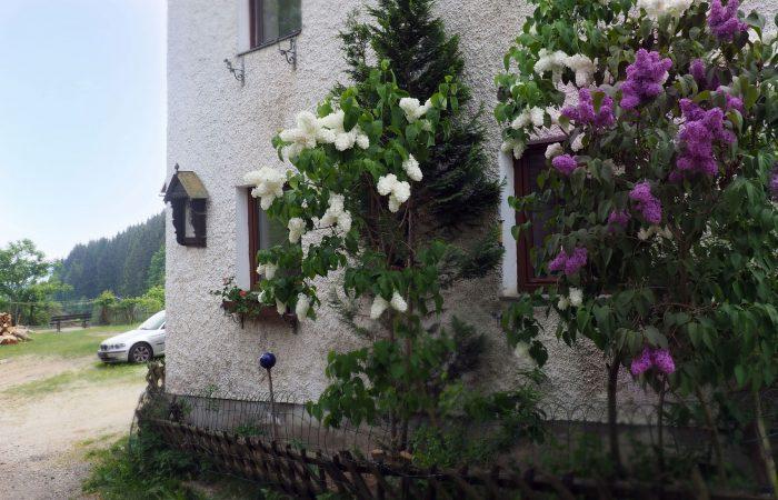 Blühender Flieder im Garten von Frau Gutenbrunner