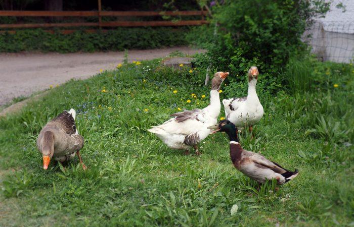 Gänse und Enten im Garten der Familie Gutenbrunner