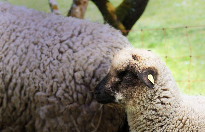 Kleines Lamm mit Mutterschaf auf der Weide