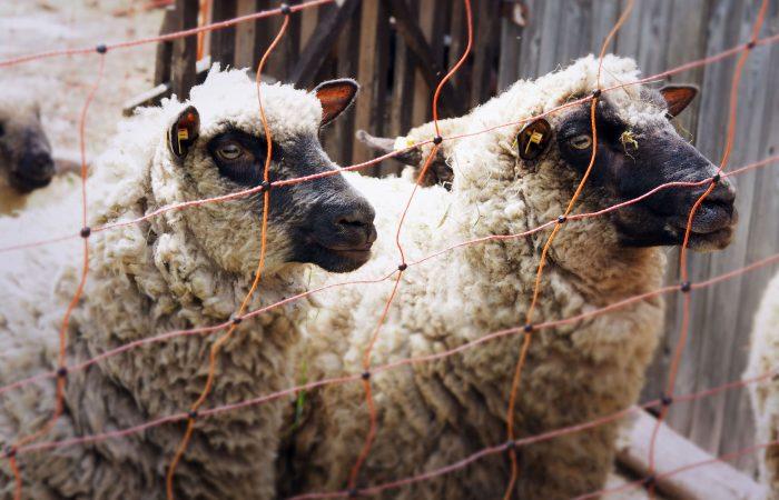 Zwei neugierige Schafe auf der Weide der Gutenbrunners