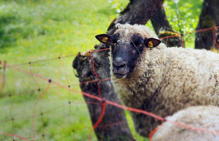 Schaf auf der Weide der Familie Gutenbrunner im Mühlviertel